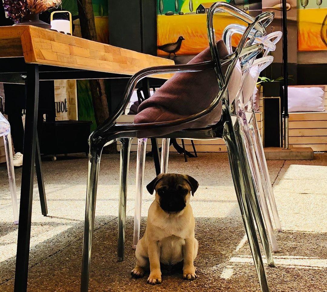 Un caine pug sub un scaun la Maize, una din terase pet friendly din București